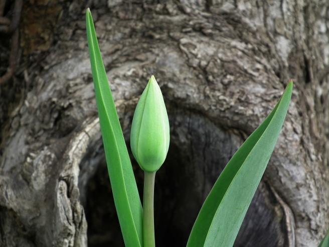 tulip-200514_1280