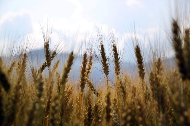 wheat-1149885_1280